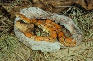 Red Rat or Corn Snake shedding skin (Elaphe guttata)
